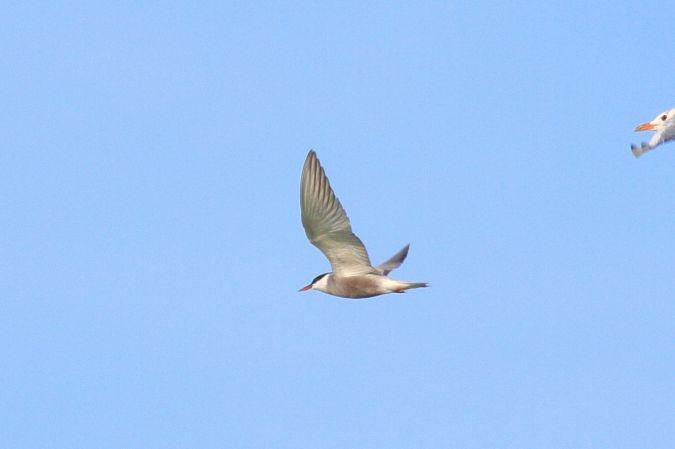 Whiskered Tern  - Philip Bardone