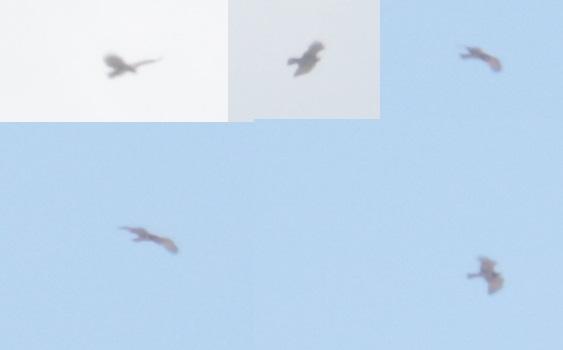 Short-toed Snake Eagle  - Richard Katzinger