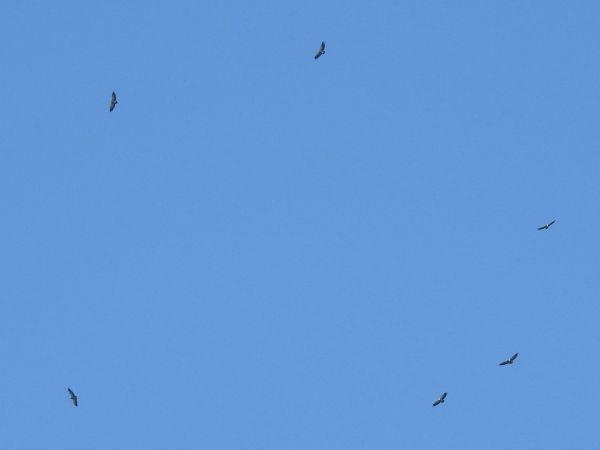 Griffon Vulture  - Laurenz Krisch