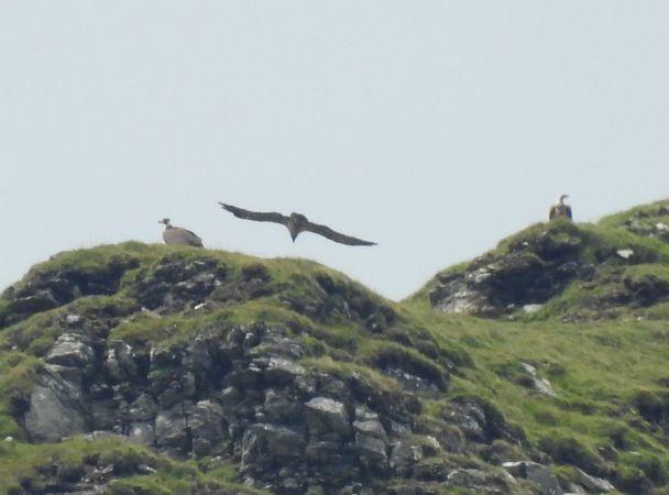 Eurasian Black Vulture  - Laurenz Krisch