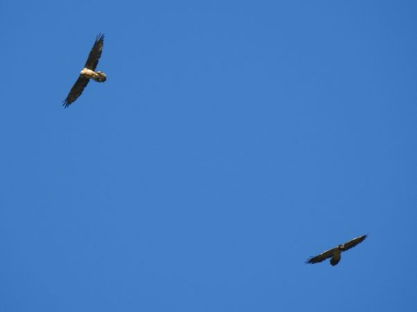 Bearded Vulture  - Laurenz Krisch
