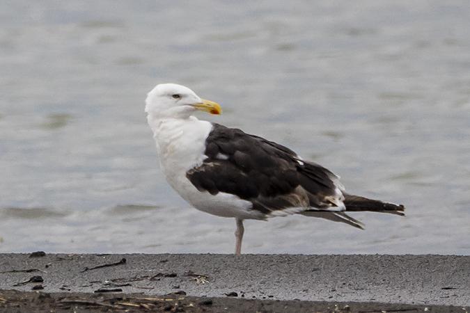 Great Black-backed Gull  - Werner Manfred Türtscher