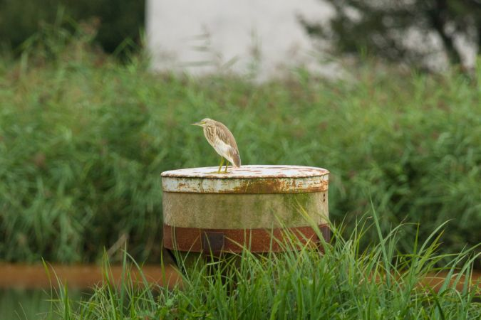 Squacco Heron  - Seppi Ringert