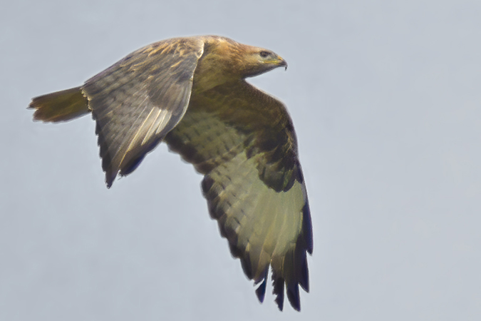 Long-legged Buzzard  - Jürgen Prohaska-Hotze
