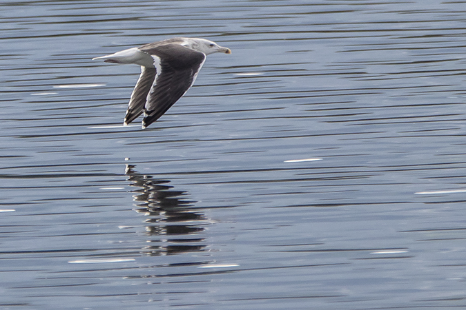 Great Black-backed Gull  - Werner Manfred Türtscher
