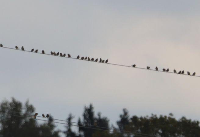 Common Starling  - Waltraud Reinprecht