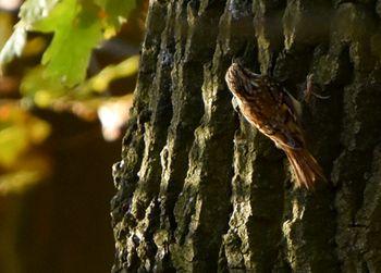 Eurasian Treecreeper  - Gabriele Hubich