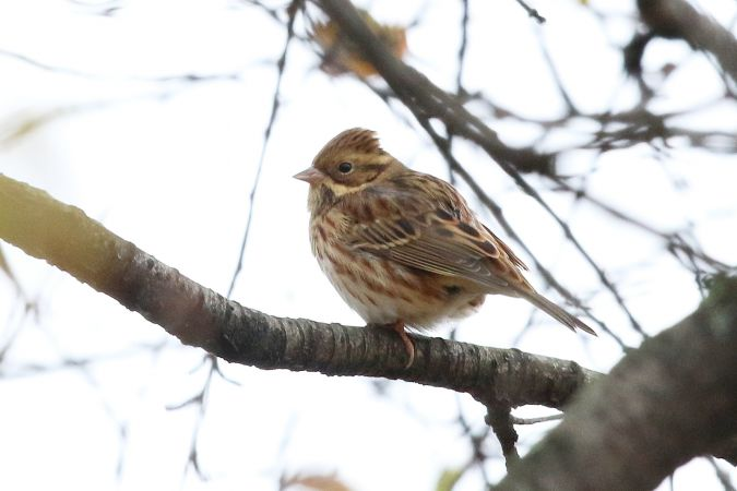 Rustic Bunting  - Christoph Roland