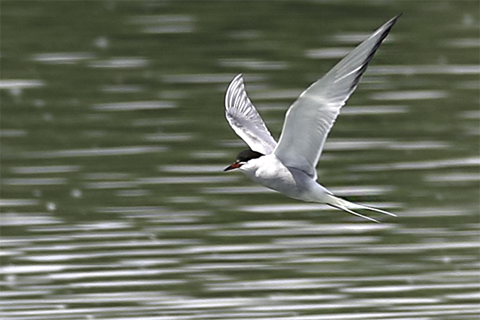 Arctic Tern  - Thomas & Christa Pumberger