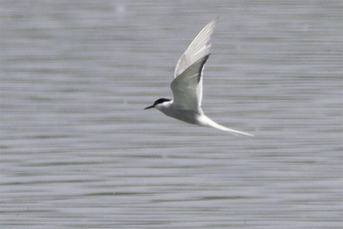 Arctic Tern  - Thomas & Christa Pumberger