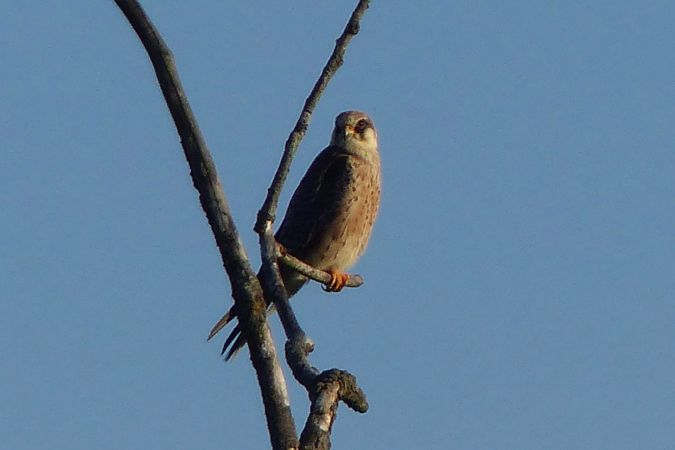 Red-footed Falcon  - Ilse Gerlach