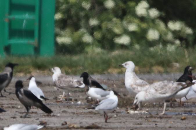 unidentified Gull  - Jakob Vratny