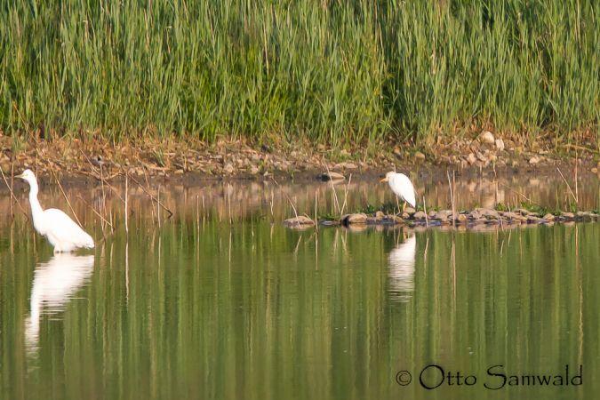 Western Cattle Egret  - Otto Samwald