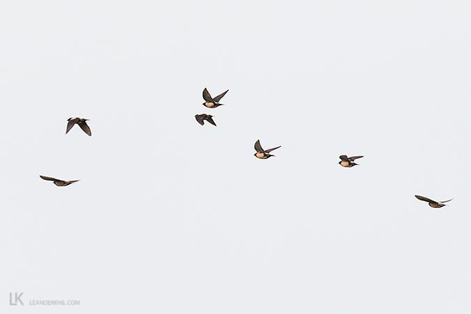 Rosy Starling  - Leander Khil