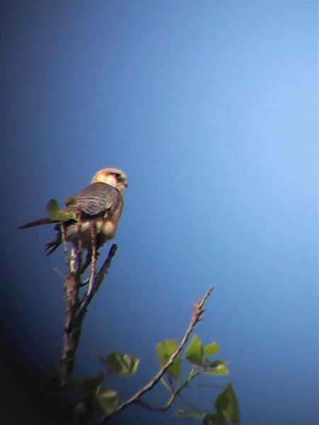 Red-footed Falcon  - Elisabeth Plank