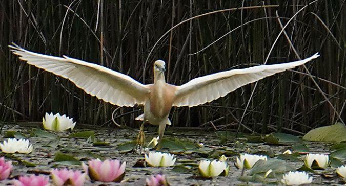 Squacco Heron  - Heinrich Schlacher