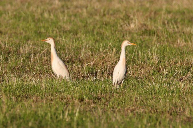 Western Cattle Egret  - Leo Bucher