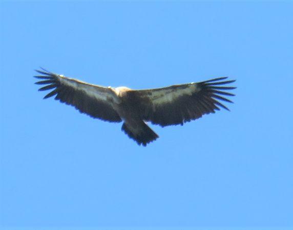 Griffon Vulture  - Karl Heinz Krainer