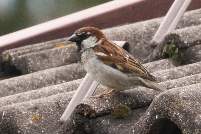 Italian x House Sparrow  - Johannes Salcher
