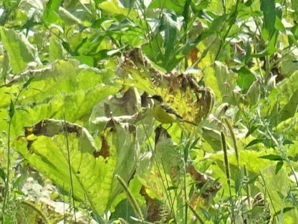 Western Yellow Wagtail (M.f.cinereocapilla)