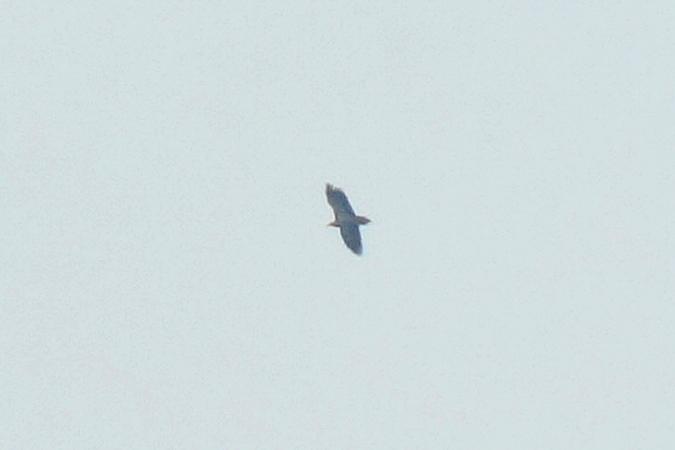 Egyptian Vulture  - Andreas Ranner