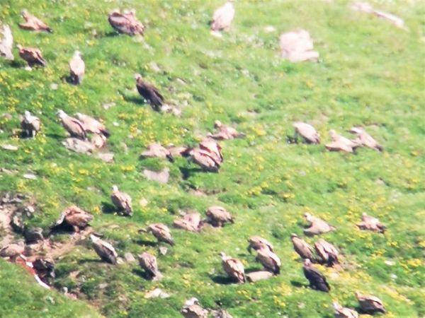 Eurasian Black Vulture  - Rudolf Grassmugg