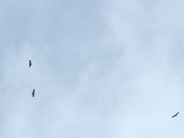 Griffon Vulture  - Irmi Jung