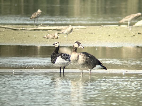 Barnacle Goose  - Florian Marchner