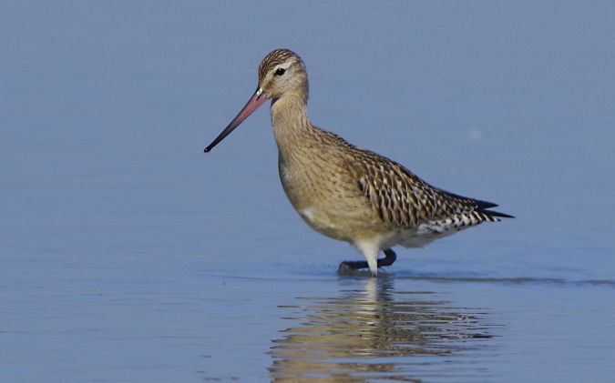 Bar-tailed Godwit  - Roman Matz