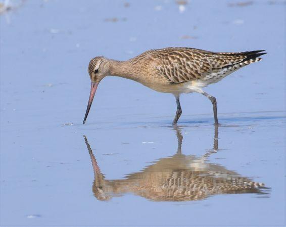Bar-tailed Godwit  - Philppe Loyoddin