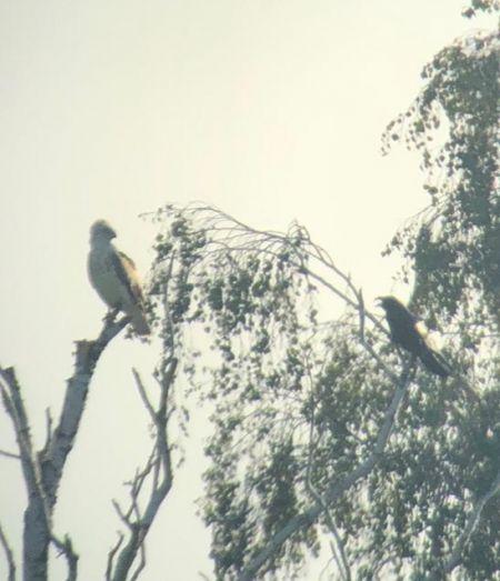 Short-toed Snake Eagle  - Philppe Loyoddin