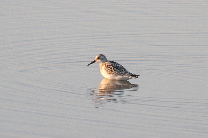 Sanderling  - Andreas Ranner