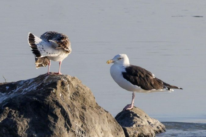 Great Black-backed Gull  - Hubert Salzgeber