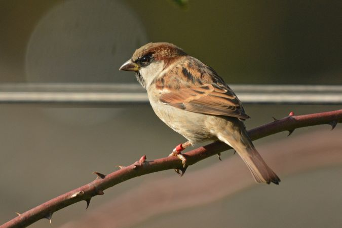 Italian x House Sparrow  - Liliana Gómez & Klaus Cerjak