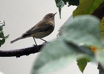 unbestimmter Vogel  - Gabriele Hubich