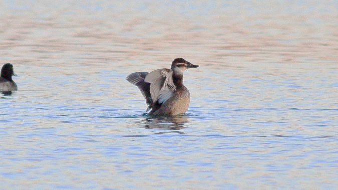 White-headed Duck  - Philip Bardone