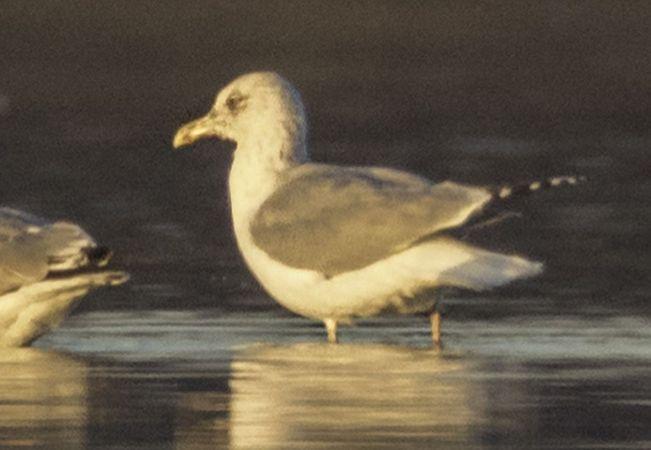 European Herring Gull  - Thomas & Christa Pumberger