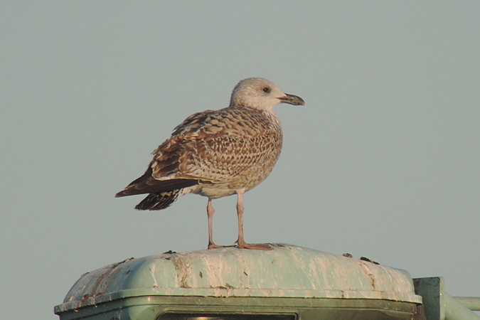 European Herring Gull  - Bernhard Zens