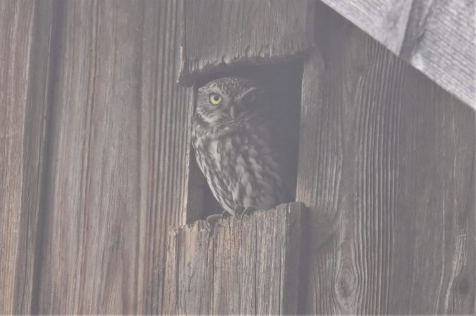 Little Owl  - Anonymous