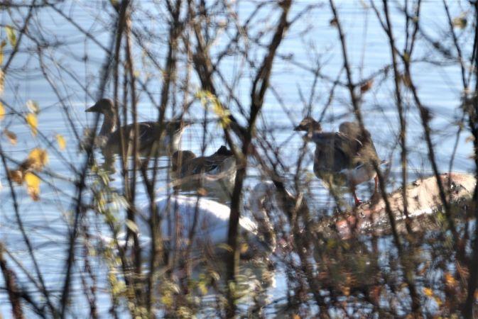 Bean Goose  - Jiri Vratny