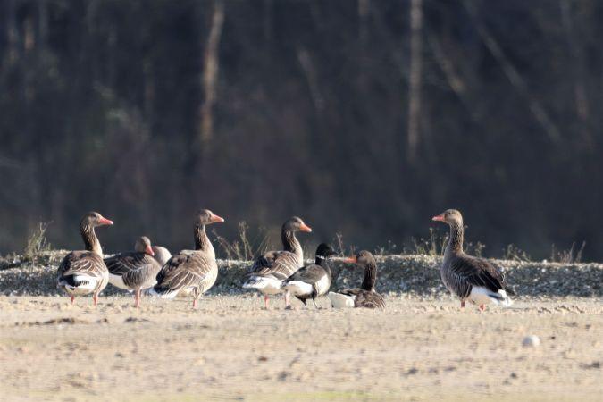 Brant Goose  - Jiri Vratny