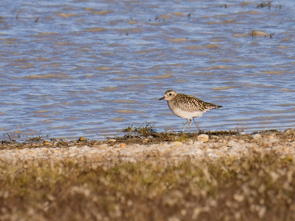 Grey Plover  - Andreas Reiter