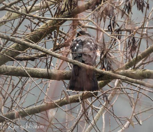 Eurasian Sparrowhawk  - Elisabeth Kerschbaum