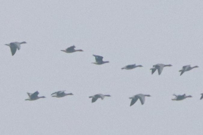 Red-breasted Goose  - Bernhard Zens