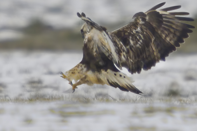 Rough-legged Buzzard  - Jürgen Prohaska-Hotze