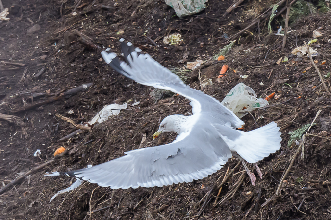 European Herring Gull  - Michael Marxgut