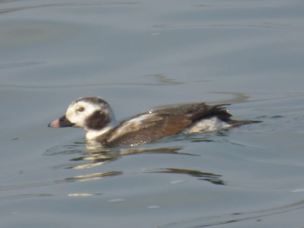 Long-tailed Duck  - Werner Zimmermann