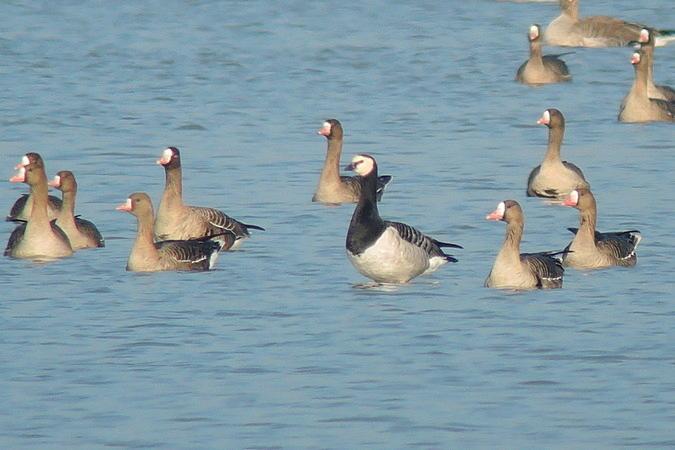 Barnacle Goose  - Bernhard Zens