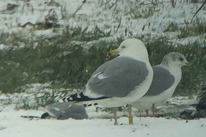 European Herring Gull  - Jakob Vratny