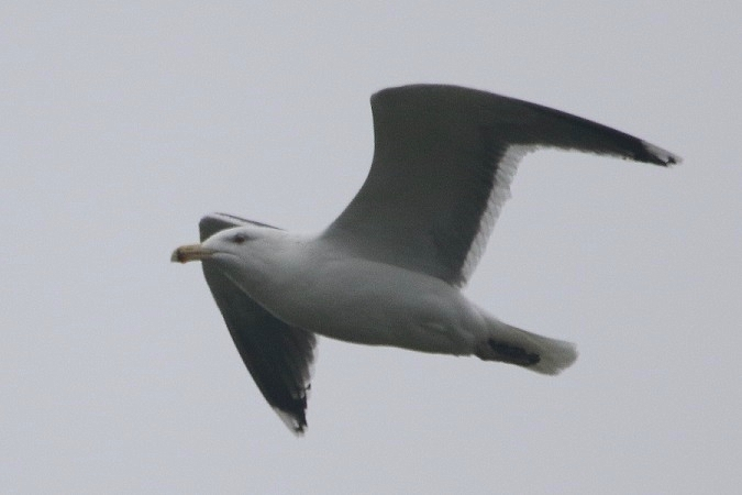 Great Black-backed Gull  - Jakob Vratny